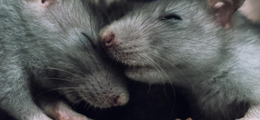 Altruistyczne szczury